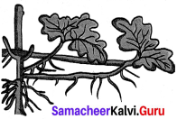 Samacheer Kalvi 7th Science Solutions Term 1 Chapter 5 Reproductive and Modification In Plants image - 3