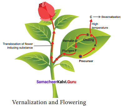 Samacheer Kalvi 11th Bio Botany Solutions Chapter 15 Plant Growth and Development