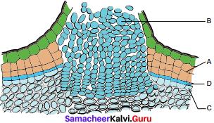 Samacheer Kalvi 11th Bio Botany Solutions Chapter 10 Secondary Growth 1