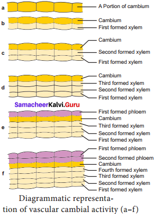 Samacheer Kalvi 11th Bio Botany Solutions Chapter 10 Secondary Growth 6