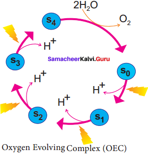Samacheer Kalvi 11th Bio Botany Solutions Chapter 13 Photosynthesis 3