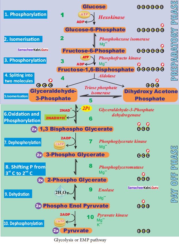 Samacheer Kalvi 11th Bio Botany Solutions Chapter 14 Respiration 4