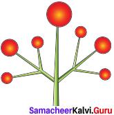 Samacheer Kalvi 11th Bio Botany Solutions Chapter 4 Reproductive Morphology 4