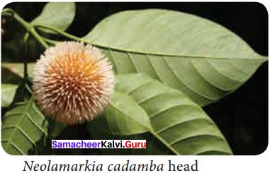 Samacheer Kalvi 11th Bio Botany Solutions Chapter 4 Reproductive Morphology 7