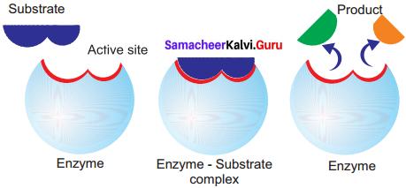 Samacheer Kalvi 11th Bio Botany Solutions Chapter 8 Biomolecules 15