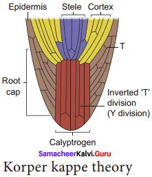 Samacheer Kalvi 11th Bio Botany Solutions Chapter 9 Tissue and Tissue System 10