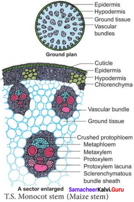 Samacheer Kalvi 11th Bio Botany Solutions Chapter 9 Tissue and Tissue System 7