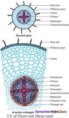 Samacheer Kalvi 11th Bio Botany Solutions Chapter 9 Tissue and Tissue System 8