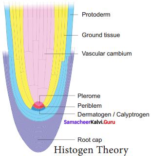 Samacheer Kalvi 11th Bio Botany Solutions Chapter 9 Tissue and Tissue System 9